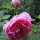 Bourbon-Rose 'Louise Odier'