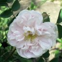 Bibernell-Rose (Rosa spinosissima) 'Stanwell Perpetual'